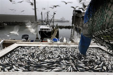 Fishing Boat Jobs In Maine by Big Herring Catch Off New England Comes With Worries The