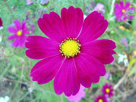 picture of cosmos flower file dark pink cosmos flower jpg wikimedia commons