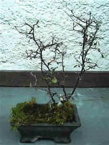 Bonsai Baum Schneiden : zickzack strauch carmens bonsai garten online shop f r bonsai pflanzen b ume bonsai d nger schalen ~ Frokenaadalensverden.com Haus und Dekorationen
