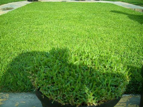 Biji Rumput Bermuda Grass jual bermuda grass asli dari usa bibit rumput