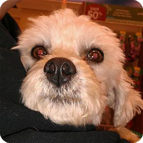 No Shed Dogs For Adoption by Monty No Shed Maltipoo Adopted Az