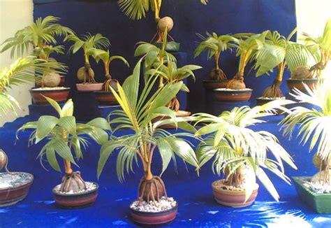 langkah mudah membuat bonsai kelapa suka suka