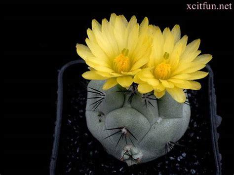 beautiful cactus flowers xcitefunnet