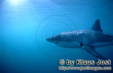 gill filaments great white shark a up look at great white shark gills www imgkid the image kid