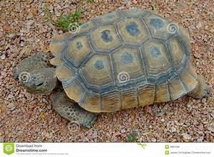 Desert Tortoise Royalty Free Stock Image Image 4991206
