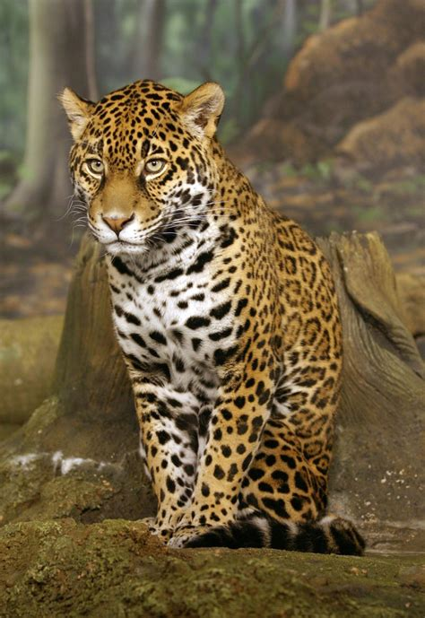pictures jaguar cat animal galleries pictures of animals from around the