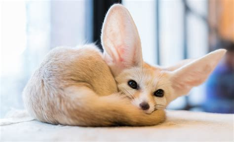 pet fennec fox accommodating awesome animals 10 most unusual pets in the home reliable remodeler