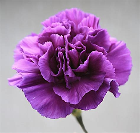 calla lilies for sale purple carnations 1 45 bunchesdirect australia
