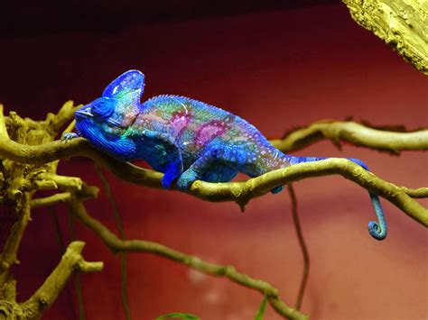 chameleon change color amazing colorful chameleons from the world most