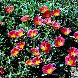 Portulak Pflanzen Kaufen : bild portulaca grandiflora portulakr schen gro bl tiger ~ Michelbontemps.com Haus und Dekorationen