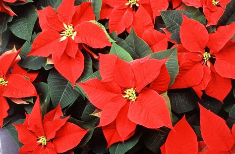 poinsettias pictures holiday fun facts the mystery of the christmas poinsettia rotator rod