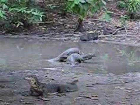 komodo dragons fighting  sapi island youtube