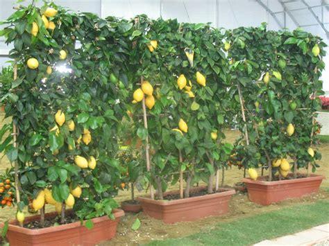 piante limoni in vaso orto sul balcone sul terrazzo in casa in giardino