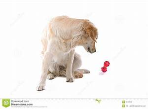 Golden Retriever With Toy Royalty Free Stock Photo - Image ...