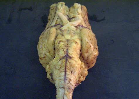 sheep brain anatomy ventral sheep brain anatomy ventral
