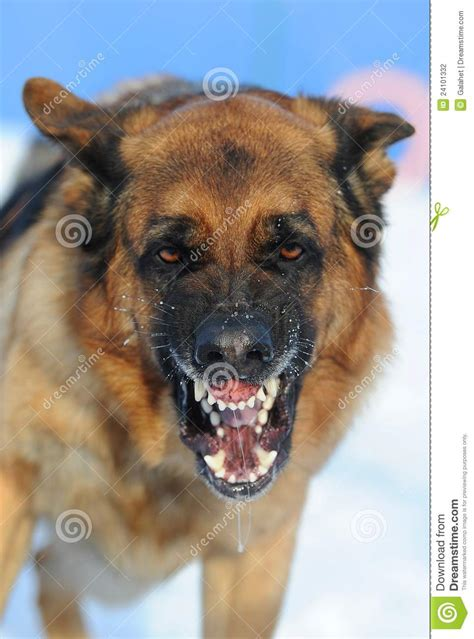 mad dog stock photo image  wool teeth fear breeding