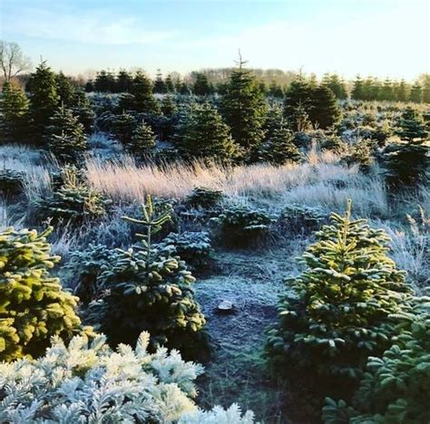real xmas trees near me where can you buy a real tree in and around