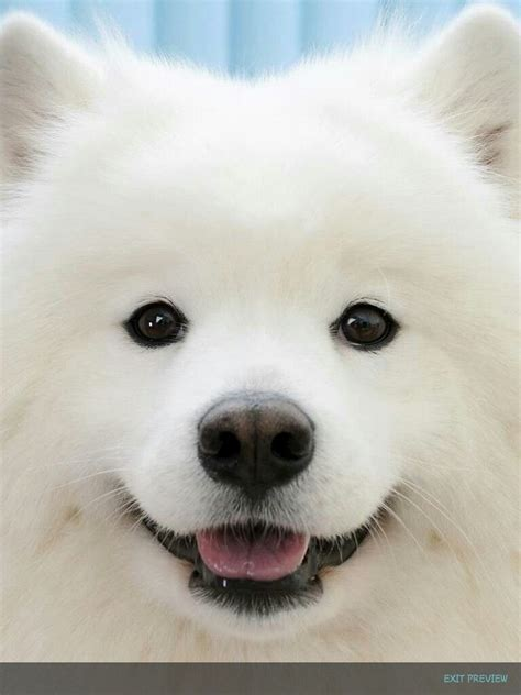 Samoyed Cute Puppy Cute Puppies Pinterest