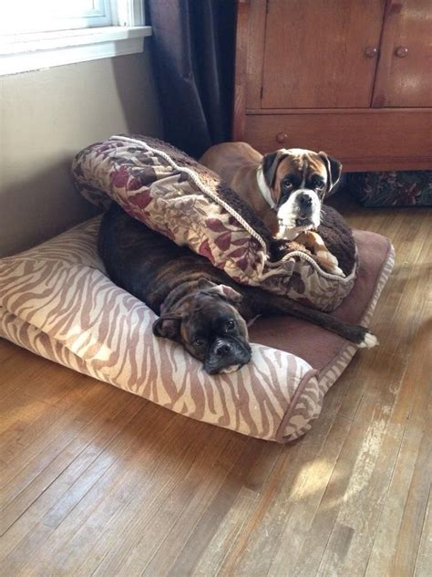 weirdest   wonderful boxer sleeping