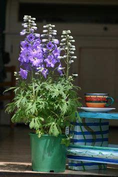 delphiniums te uzun yaşayan bitkiler bah 231 ecilik ve yaban asması hakkında 1000 den