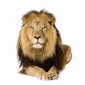 Lion Head Pictures Dowload