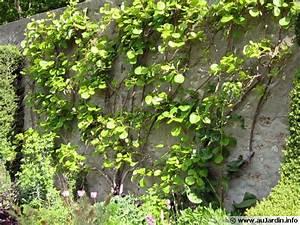 Tailler Les Kiwis : les formes paliss es de fruitiers ~ Farleysfitness.com Idées de Décoration