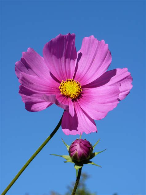 Cosmos Flowers Pinterest Chainimage