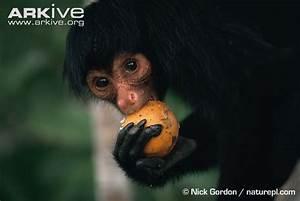 Black spider monkey photo - Ateles paniscus - G43819 | Arkive