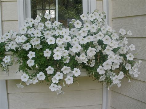 cascading flowers for window boxes mariette s back to basics our fiberglass window boxes double cascade pink petunias