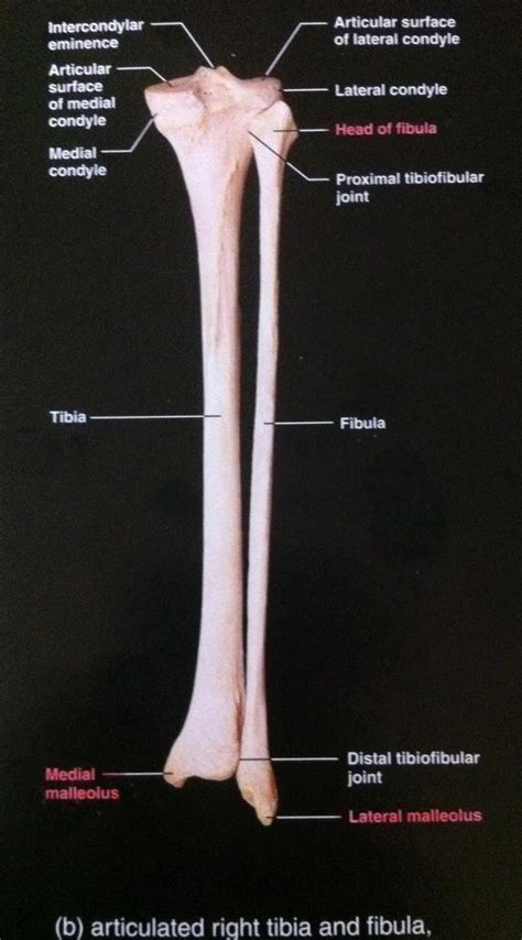 There are 19 or 20 intrinsic foot muscles, therefore 38 to 40 intrinsic foot muscle tendons. Exam 2 at University of Kansas - StudyBlue
