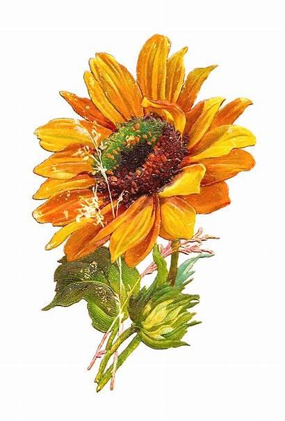 Sunflower Clip Flower Graphic Clipart Antique Sunflowers