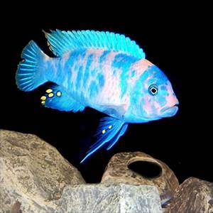 Cichlid Stones - Ornamental Aquarium Caves.