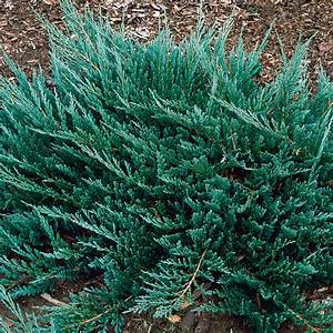 Juniperus horizontalis Blue Chip - Creeping juniper ...