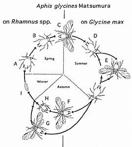 Life Cycle Of The Soybean Aphid   A  Fundatrix On Rhamnus