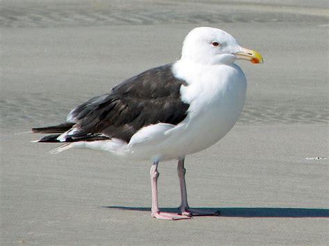 Filegreat Blackbacked Gull, (larus Marinus) Rwd2jpg