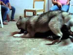 alaskan malamute VS rottweiler - YouTube