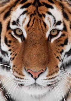 Best Master Tigress Images Big Cats Adorable Animals
