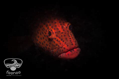grouper spotted peaking coral thulusdhoo wreck near comment