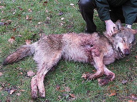 montabaur wolf erschossen  euro strafe