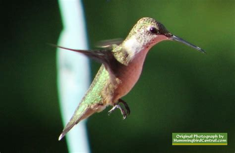 ruby throated hummingbird scientific name size range