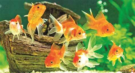 odisha  missing  ornamental fish bus