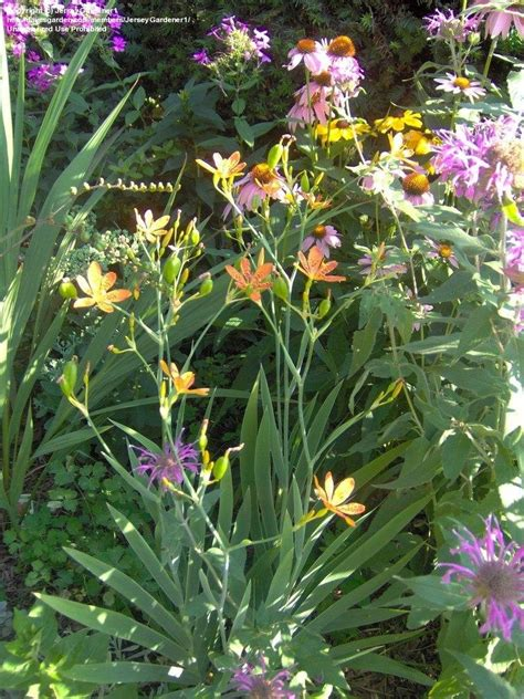 whole year flowering plants plantfiles pictures blackberry lily leopard lily iris domestica by jerseygardener1