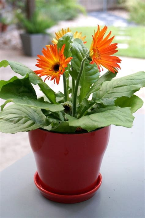 gerbera in pots preparing your yard for fall