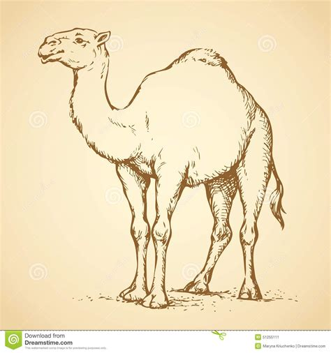 camel vector drawing stock vector image