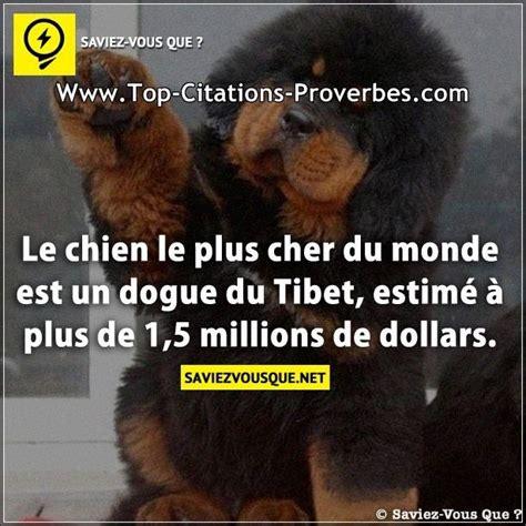 le canapé le plus cher du monde le chien le plus cher du monde est un dogue du tibet