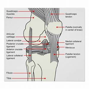 Anatomical Diagram Of A Human Right Knee Joint Poster