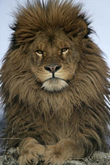 barbary lion panthera leo leo adult male close