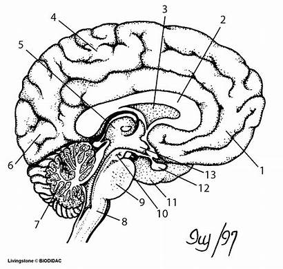 Brain Blank Diagram Worksheet Anatomy Human Unlabeled