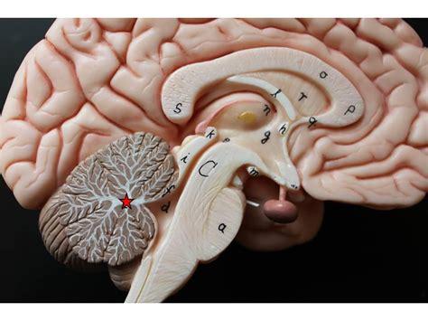 arbor vitae biology 212 gt seward gt flashcards gt lab 5 brain flashcards studyblue