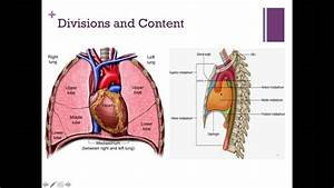 Anatomy Of The Mediastinum And Its Content